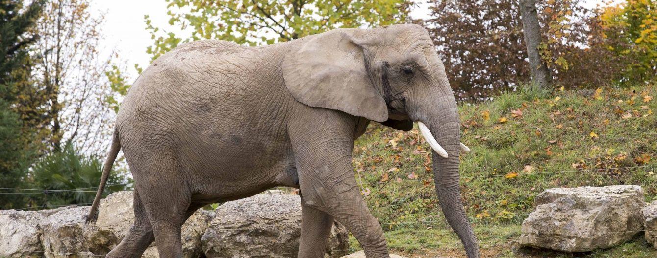 У чеському зоопарку відвідувачам пропонують зробити папір із екскрементів слонів