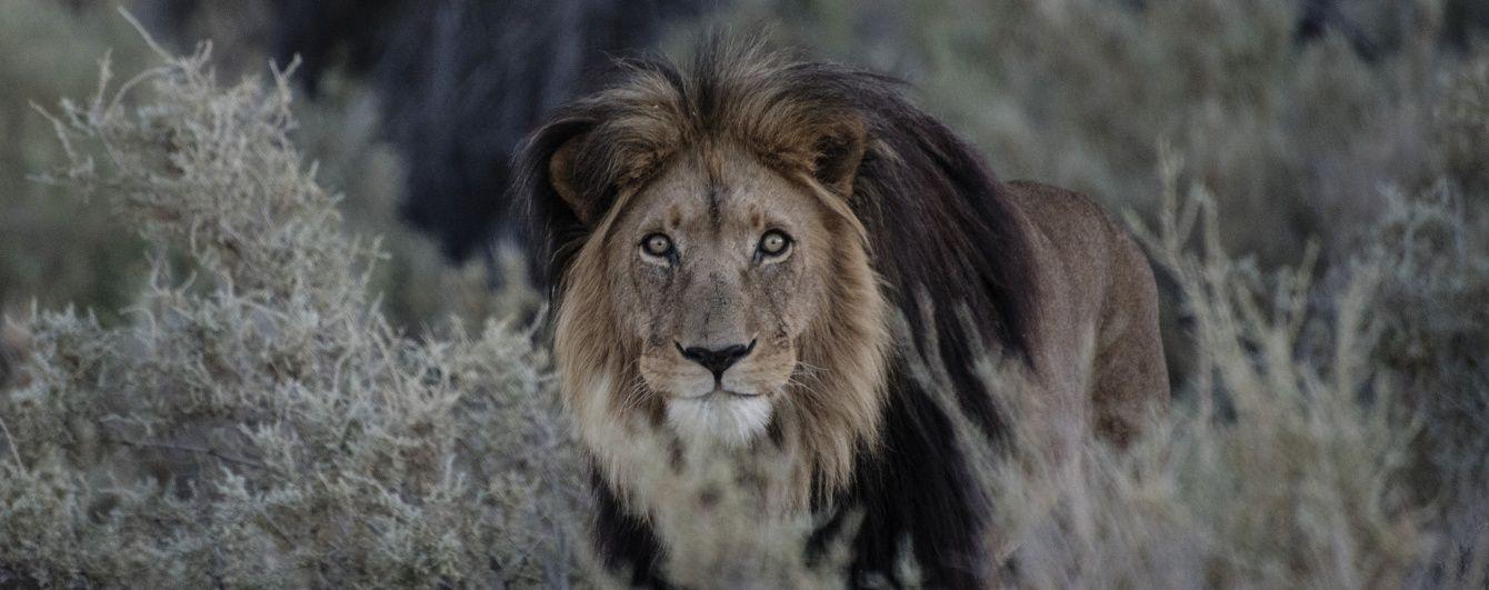 Агресивний лев накинувся на дівчинку, яка розлютила його своїми поцілунками
