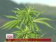 У Чилі відкрили велетенську ферму марихуани