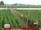 У Чилі за 300 кілометрів від Сантьяго відкрили найбільшу в світі ферму марихуани