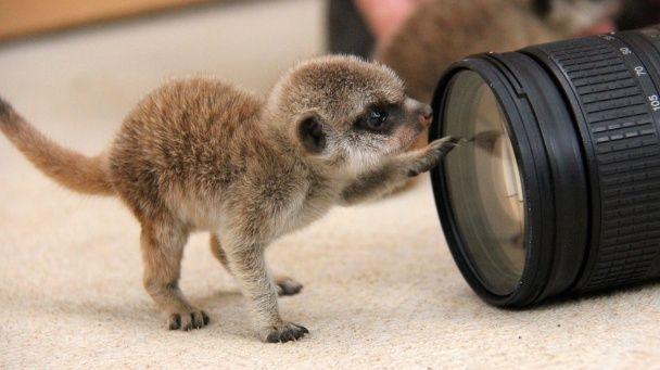 Сіднейський зоопарк показав зворушливі фотографії новонароджених сурикатів