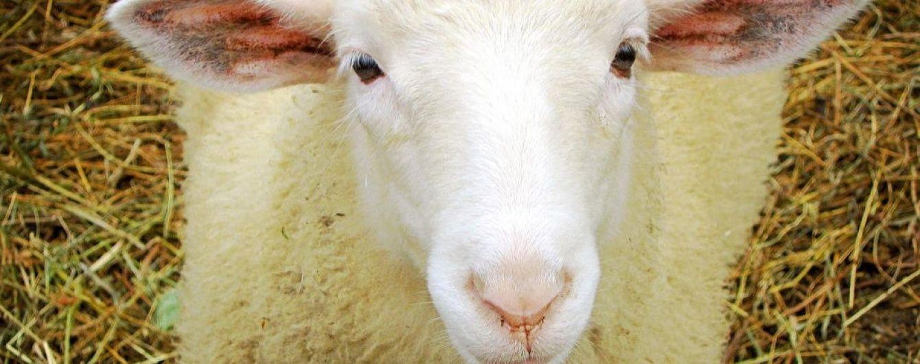 У Мережі шаленіють від вівці, яка просить її почухати (відео)