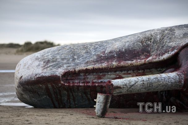 Криваве узбережжя: у Британії гігантських кашалотів ріжуть на шматки просто на березі