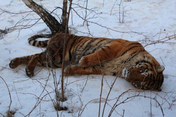У російському Воронежі вулицями бігав тигр