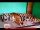 У Воронежі вулицями міста блукав тигр