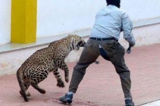 В Індії леопард потайки пробрався до школи та подряпав шістьох людей (відео)