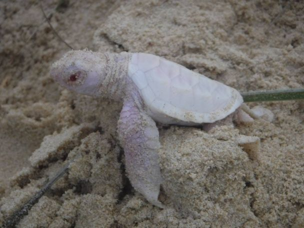 Біля берегів Австралії знайшли унікальну черепаху-альбіноса