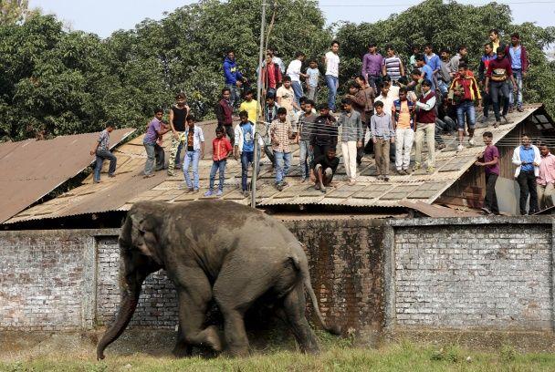 В Індії величезний слон розтрощив понад 100 будинків на очах у їх власників