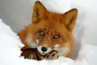 Юзери тішаться грайливою лисицею, яка на відео переплутала простирадло зі снігом