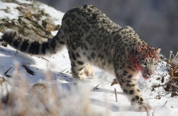 Гарний котик: Reuters показав фото снігового барса у шотландському лісі