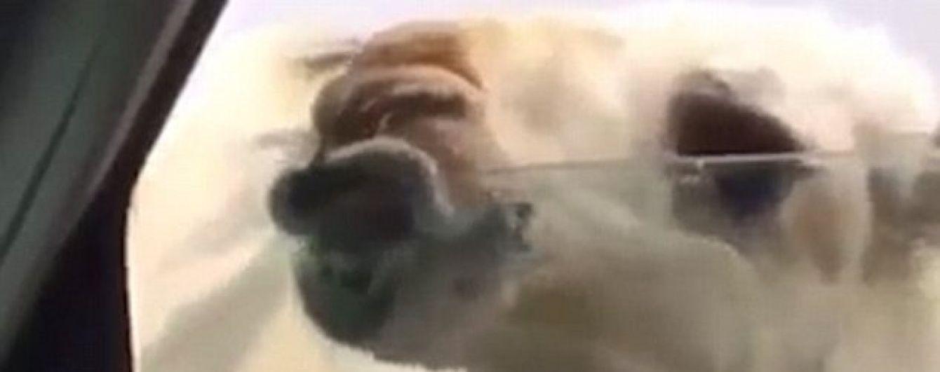 Відео допитливого верблюда розсмішило юзерів