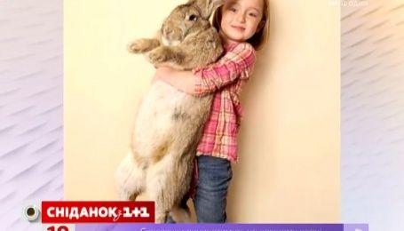 Сеть покорил 25-килограммовый кролик