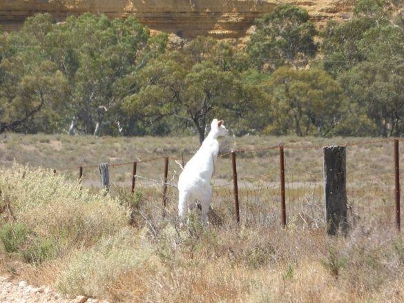 кенгуру альбінос