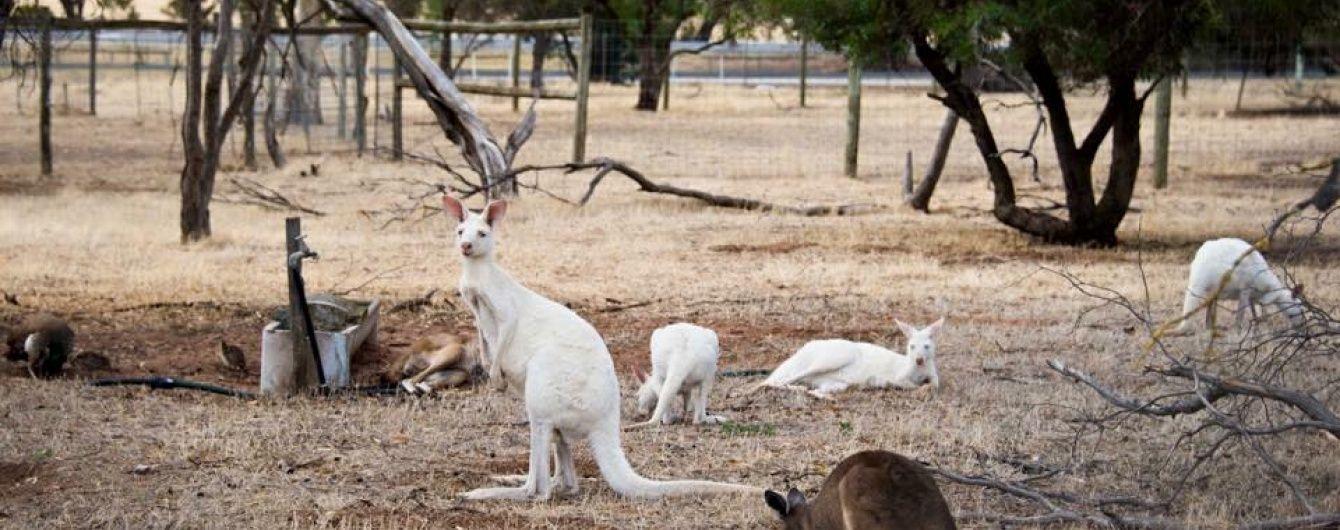 В Австралии в дикой природе нашли уникального кенгуру-альбиноса