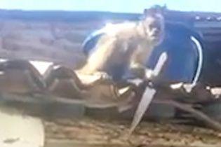 Юзерів шокувало відео озброєної ножем мавпи в бразильському барі