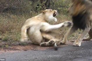 У Національному парку в ПАР левиця дала відсіч настирливому леву, який вимагав сексу (відео)