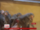 Сімнадцять бабуїнів змінили польське громадянство на Бердянську прописку