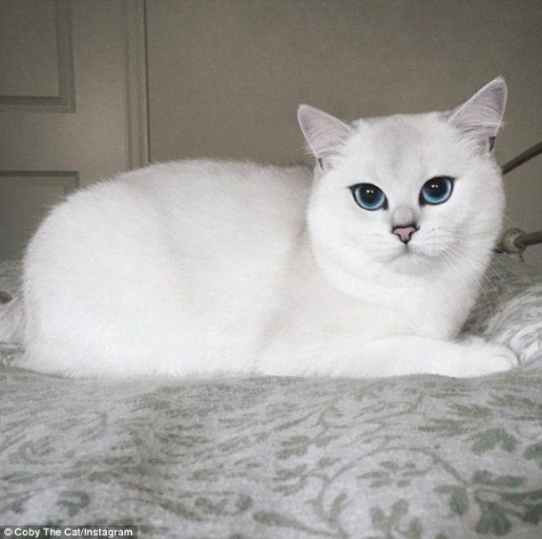 Білосніжний кіт із блакитними очима зібрав вражаючу армію шанувальників у Instagram