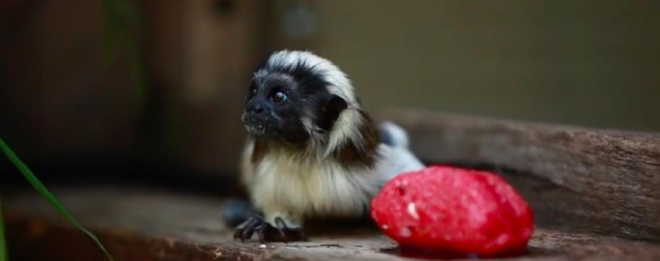 Кумедних мініатюрних австралійських мавпочок врятували від спеки морозивом