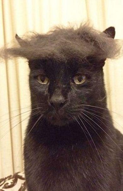 Кототрампи. У США напередодні Супервівторка з'явилися фото котів із зачісками Трампа