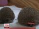 Британські зоологи змушують товстого їжака скинути зайву вагу