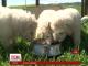 У США рекордсменскою стала пастуша собака Стелла, що народила одразу 17 цуценят