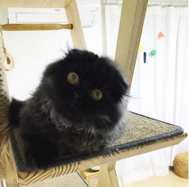 Гигантский черный кот