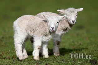 Ученые заявили о создании химеры овцы и человека