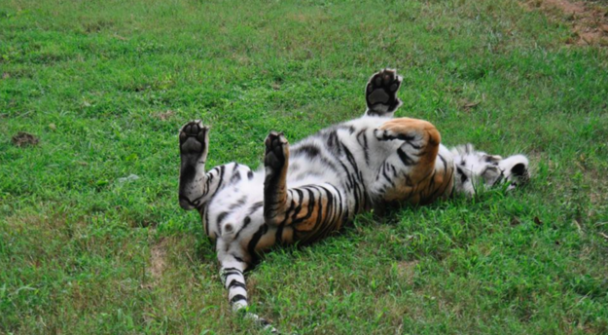 У каліфорнійському притулку для тварин тигр, лев і ведмідь стали найближчими друзями