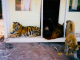 Тигр, лев та ведмідь. Як три диких звіра стали найкращими друзями