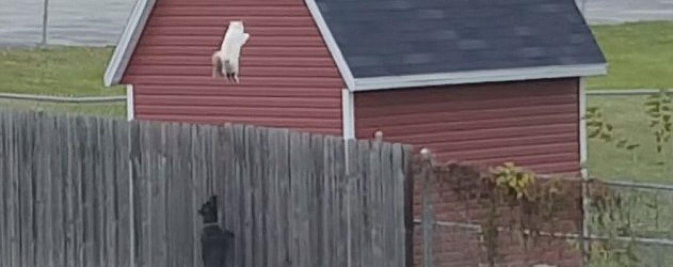 I believe I can fly. Кіт-літун спричинив дискусію своєю ефектною втечею від собак