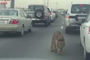 У Катарі водіїв нажахав тигр, який втік від господаря під час затору