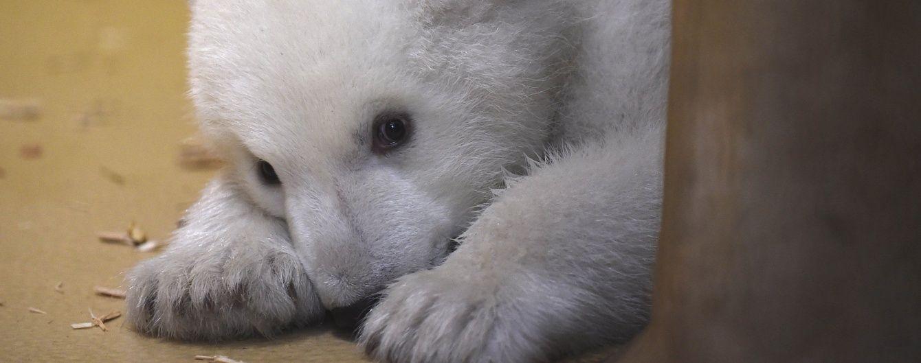 У німецькому зоопарку вперше до відвідувачів вийшло полярне ведмежа
