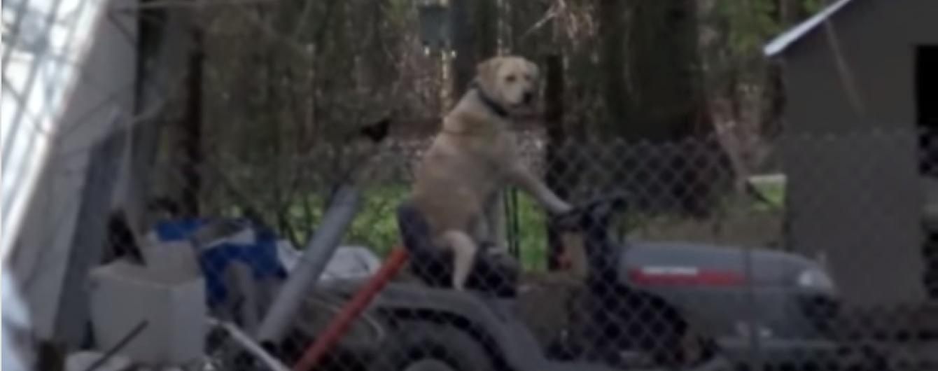 У Мережі з'явилося відео з дивним собакою за кермом газонокосарки
