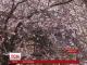 На Закарпатті квітне сакура