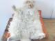Суперволохатий кіт-хмаринка став новою зіркою Instagram