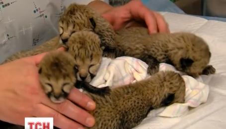 Маленькие гепарды борются за жизнь в американском зоопарке
