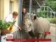 Найстарший білий носоріг Європи помер у Київському зоопарку