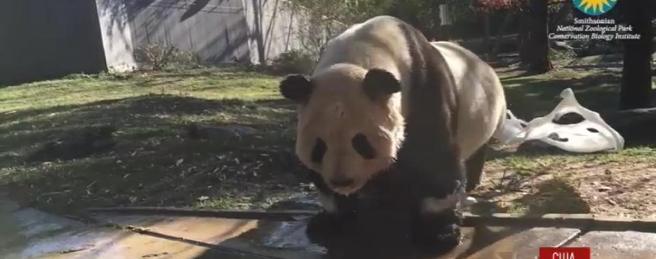 Користувачів Мережі розсмішила панда, яка полюбляє приймати ванну