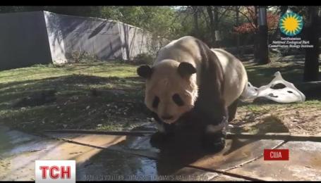По интернету распространяется видео, как умывается гигантская панда