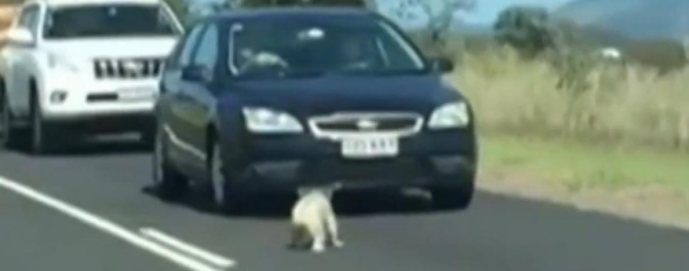 Зворушлива коала паралізувала рух на жвавому шосе