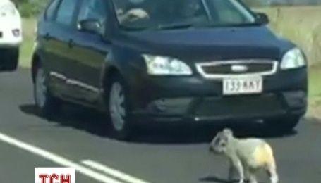 Коала перекрыла движение на скоростном шоссе в Австралии