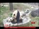 В Інтернеті поширюється відео, як панда навчає своє дитинча водним процедурам