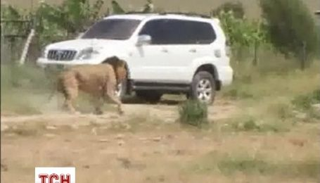 Кенійські рейнджери застрелили лева, який напав на людину
