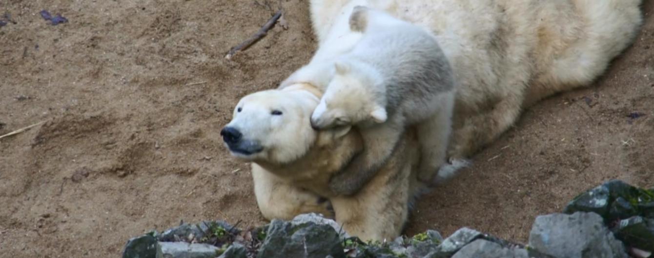 Користувачів Мережі розсмішило дитинча білої ведмедиці, яке бавиться з мамою
