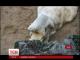 Біле ведмежа із зоопарку чеського міста Брно стало зіркою інтернету