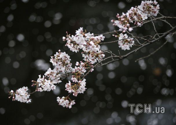 Японія відзначає ханамі: службовці лишають роботу і йдуть милуватися дивовижними вишнями