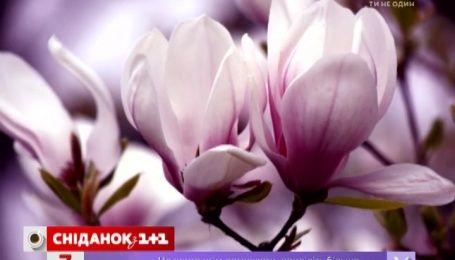У київському ботсаду зацвіли магнолії