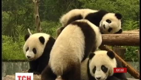 Справжній пандячий майстер-клас оголосили у Китаї