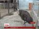 Дива батьківської любові показує австралійський страус Ему